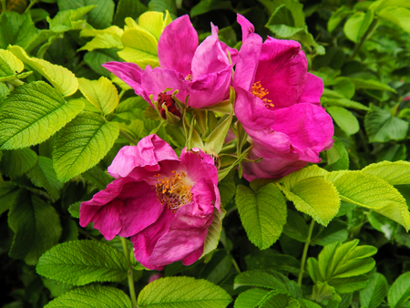 Flowers of wild rose hips rose closeup