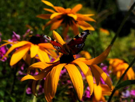 Swallowtail Butterfly on aster yellows in the garden