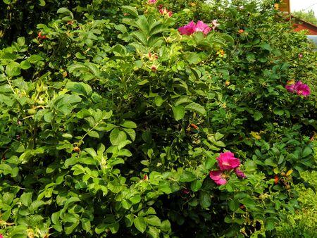 Beautiful pink flowers of wild rose closeup