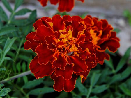 Garden carnation flowers closeup