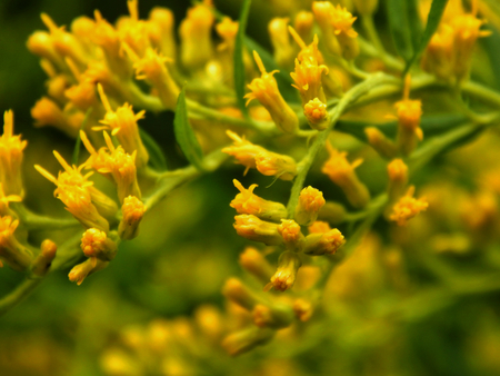 fever plant: Wild yellow flowers close up