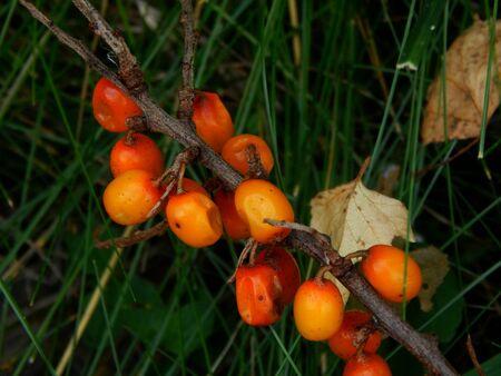 argousier: Branch of sea-buckthorn berries Banque d'images