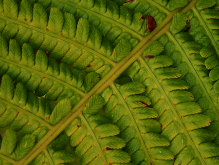 yellowing: Yellowing leaves of fern close up