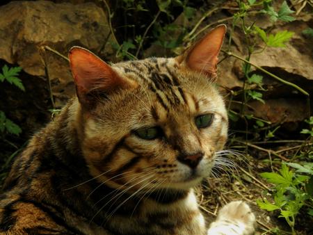 furred: Portrait of a Bengal cat exhibition champion closeup