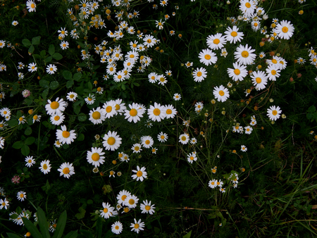 white daisies: White daisies on a field close-up