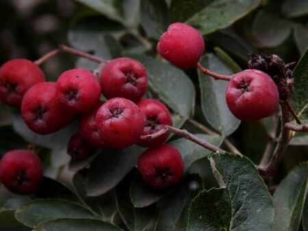Maturation of black mountain ash on a tree branch Stock Photo