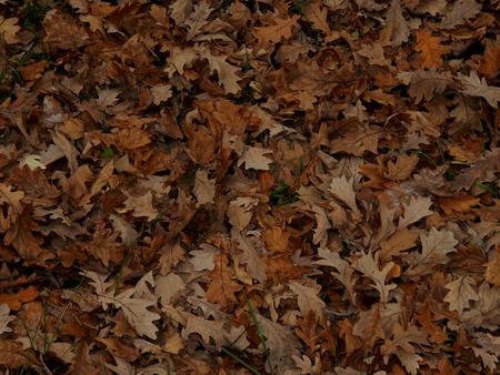 hojas secas: Otoño hojas secas de roble de primer plano