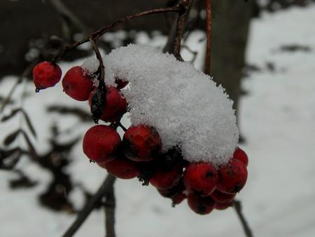 eberesche: Rowan Zweig mit Schnee close-up