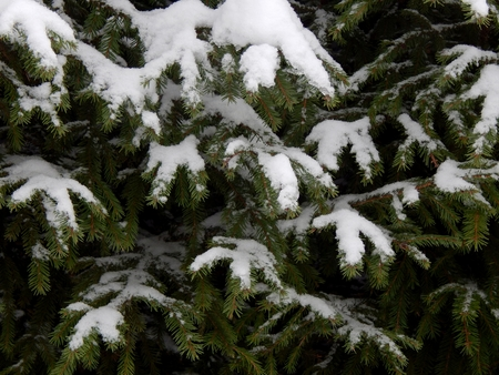 Spruce branches in snow white closeup