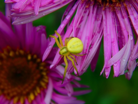 Forest Green spider on aster flowers closeup