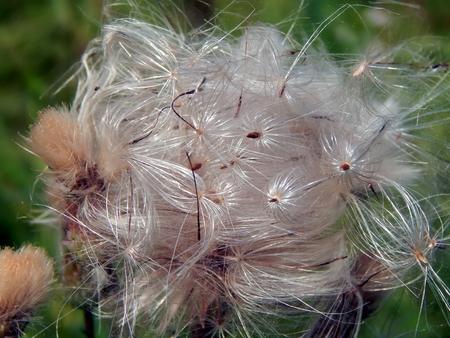 White fluffy fuzz meadow thistles Stock Photo