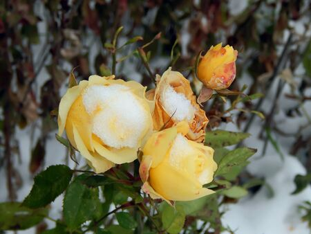 Yellow rose on snow close-up Stock Photo
