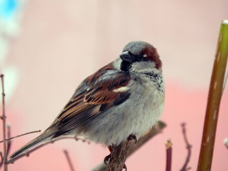 Urban sparrow sitting on a branch of a tree close up