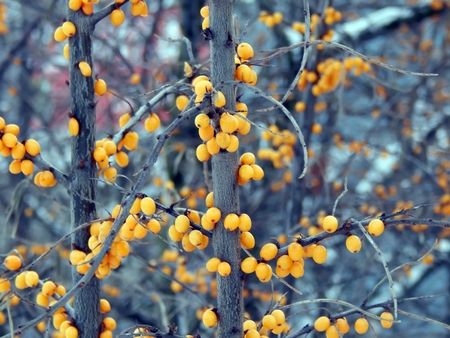 argousier: Yellow berries of sea-buckthorn in snow on a branch