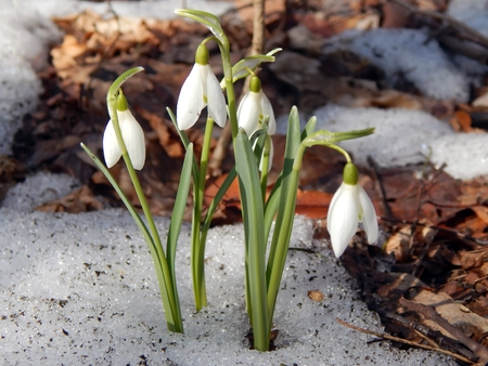 The first spring flowers snowdrops on the snow close up Stock Photo - 73593637