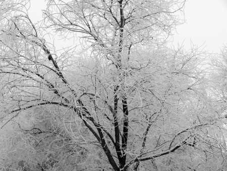 snowstorm: Branches of trees covered with snow after a snowstorm Stock Photo