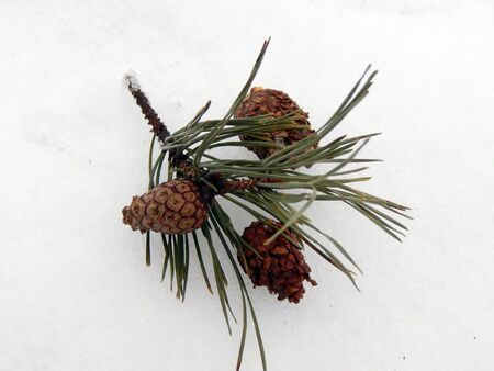 Pine branches with a lump in the snow close-up