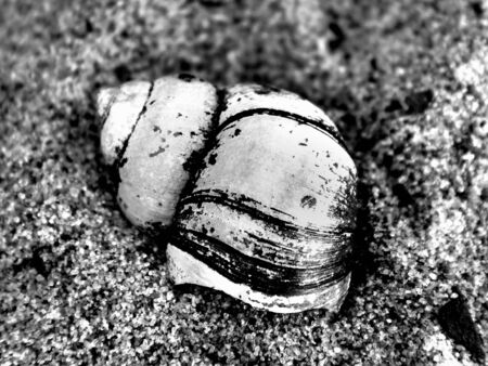 River cockleshell on sand in black and white