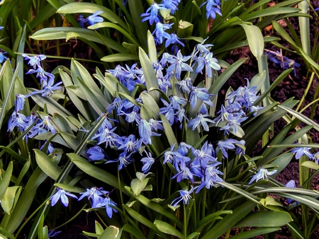 The first spring blue flowers close-up