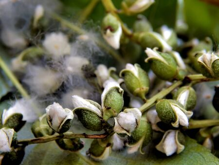Season of flowering poplar fluff on a close-up branch