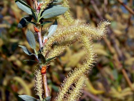 Spring flowering of alder tree