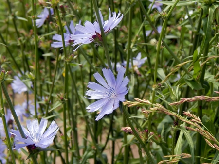 Close-up of chicory flower