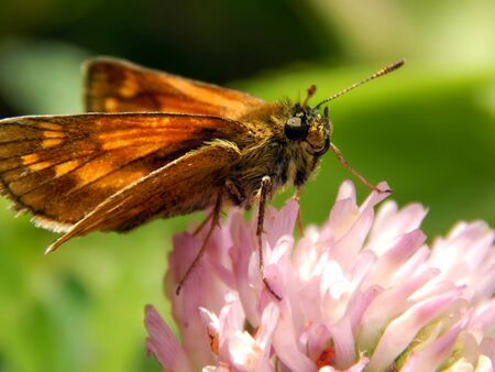 Butterfly on a meadow flower close-up
