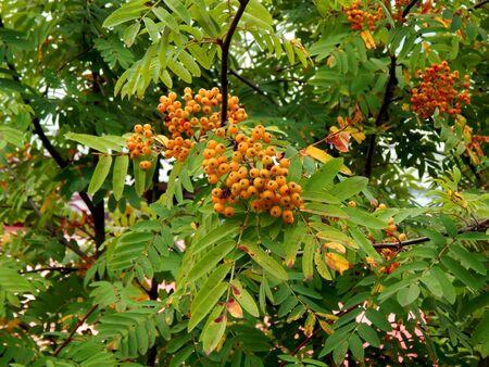 Rowan berries on a close-up branch