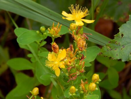 Flowers of yellow St. Johns wort close up