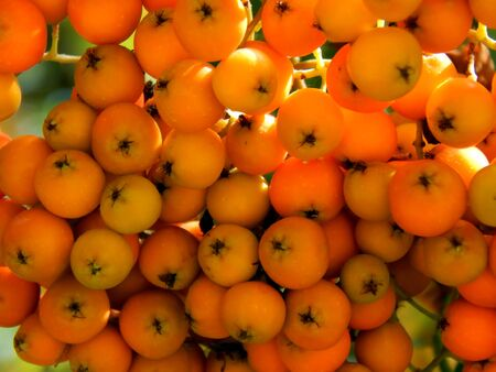 Berries of mountain ash on a tree branch in the sunrise close-up Stock Photo