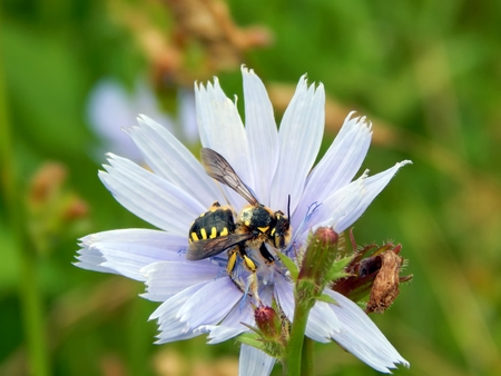 Wild striped wasp on meadow flowers Stock Photo