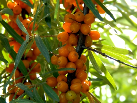argousier: Yellow sea buckthorn berries on the branches of a sea-buckthorn tree close-up Banque d'images
