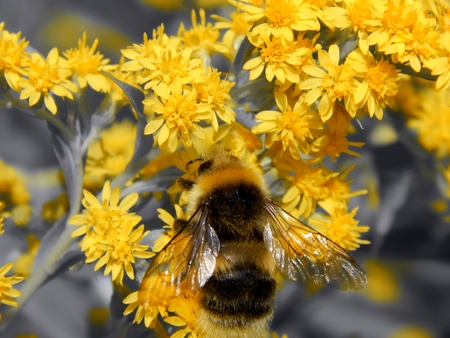 botanics: Bee on meadow flowers with a black and white image Stock Photo