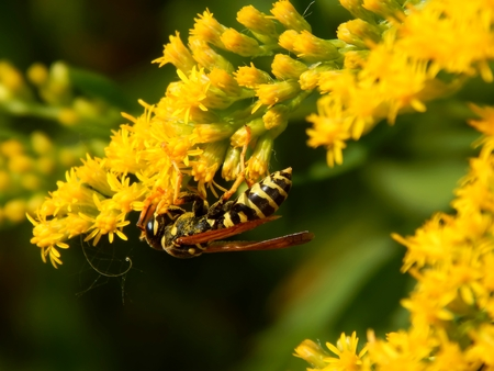 botanics: Wasp on meadow flowers close-up