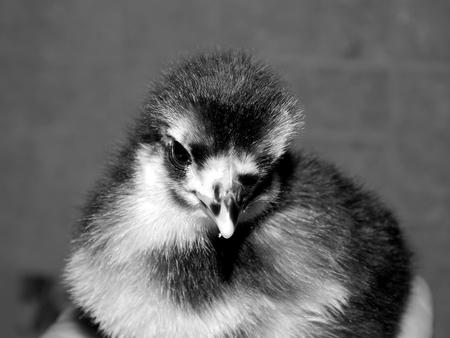 Chicken on hand close up