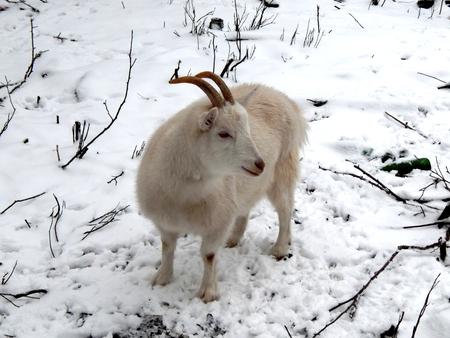 White goat on the farm closeup Фото со стока