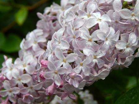Lilac flowers on a branch after a rain close up