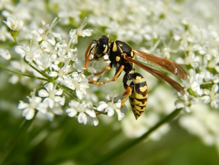 Wilde Wespe auf weißen Wiesenblumen Nahaufnahme