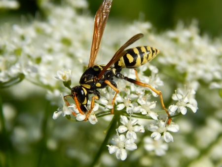 Wild wasp on white meadow flowers close-up 版權商用圖片