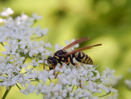 Wild wasp on white meadow flowers close-up Banco de Imagens