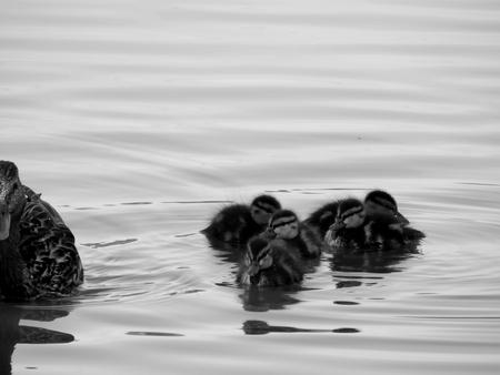 Wild ducks on the lake close up Stock Photo