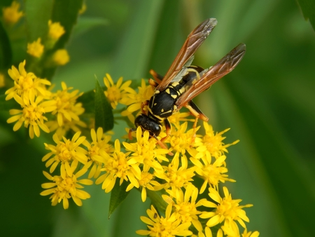 Wild wasp in nature on meadow flowers close-up