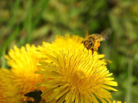 Bee on spring flowers close-up Banco de Imagens