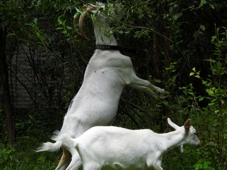 Domestic goats eat in the meadow in clear weather