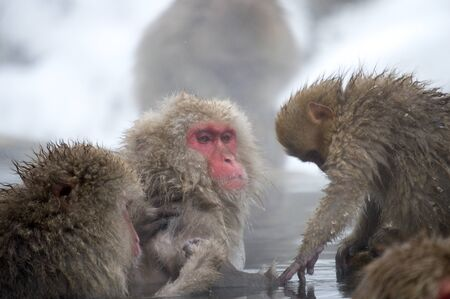 Snow Monkey in Thermal Bath Being Groomed