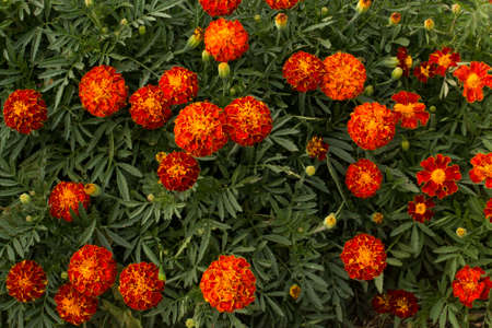 patula: French Marigold field in the autumn sun.