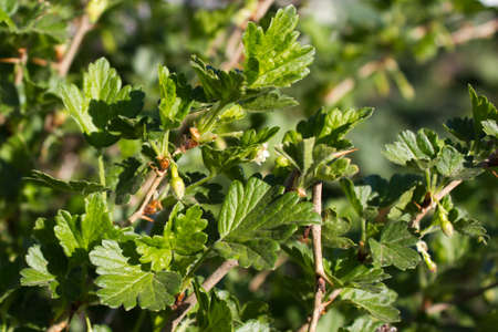 gooseberry bush: Leaves on gooseberry bush Stock Photo