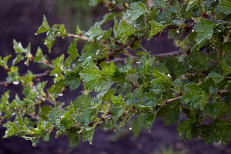 gooseberry bush: Fresh green gooseberries on a branch of a gooseberry bush with drops of water after the rain.