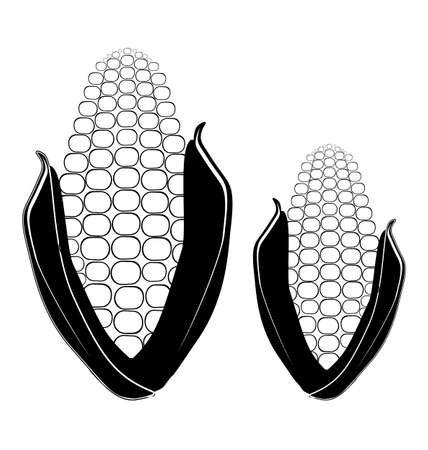 gmo: Two ears of corn on white background