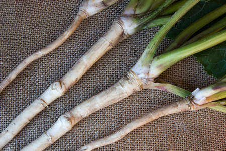 caustic: fresh, peeled, raw horseradish root, on sacking